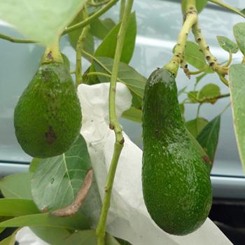 AvocadoA.jpg