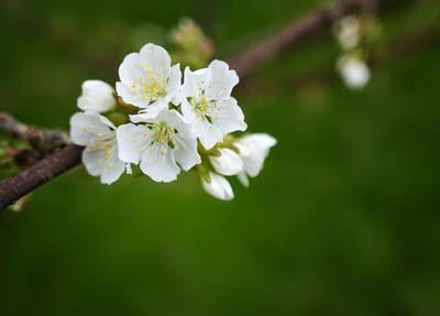 Cherry hanaB.jpg