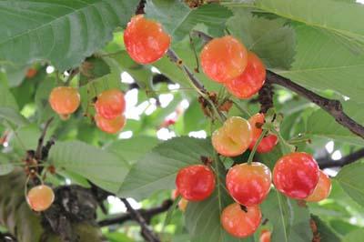 CherryA.jpg