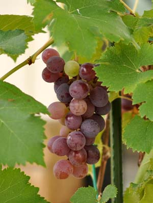 Grapenae.jpg