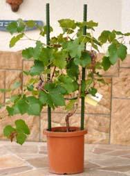 Grapenae2.jpg