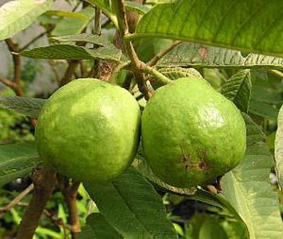GuavaA.jpg