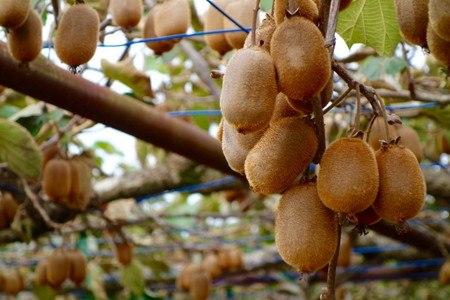 Kiwi-fruit012.jpg