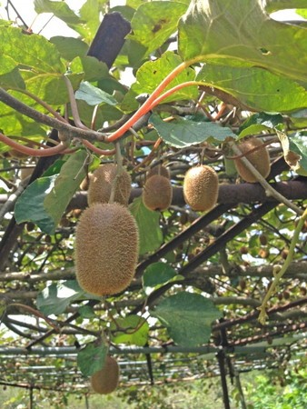 Kiwi-fruit018.jpg