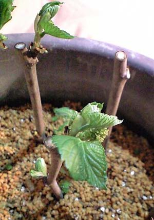 Mulberry sasiki.jpg