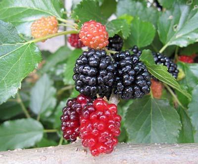 MulberryA.jpg
