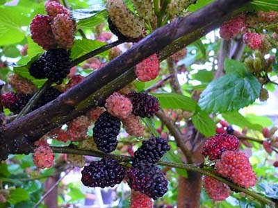 MulberryB.jpg