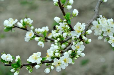 Prunus3.jpg