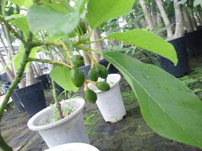 avocado (1).jpg