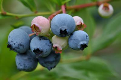 blueberry (2).jpg