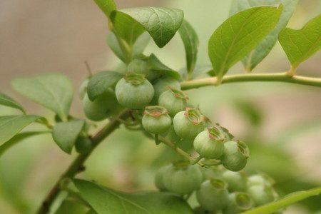 blueberry010.jpg
