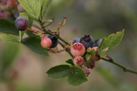 blueberry011.jpg