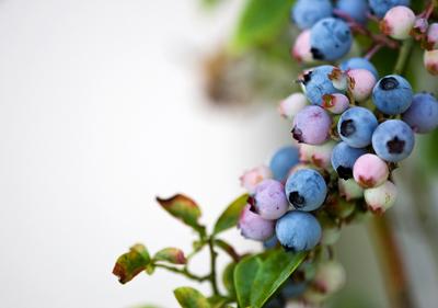 blueberry1.jpg