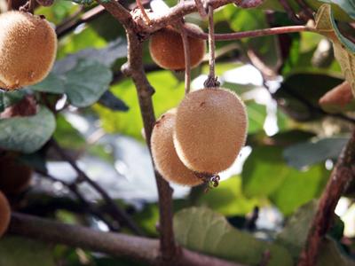 kiwifruitx.jpg