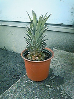 pineapplec.jpg