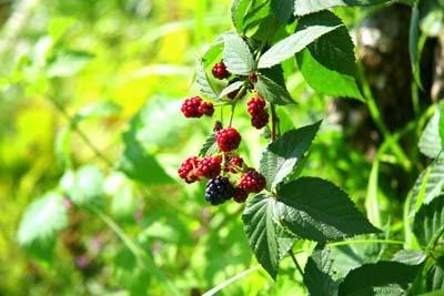 raspberry1.jpg